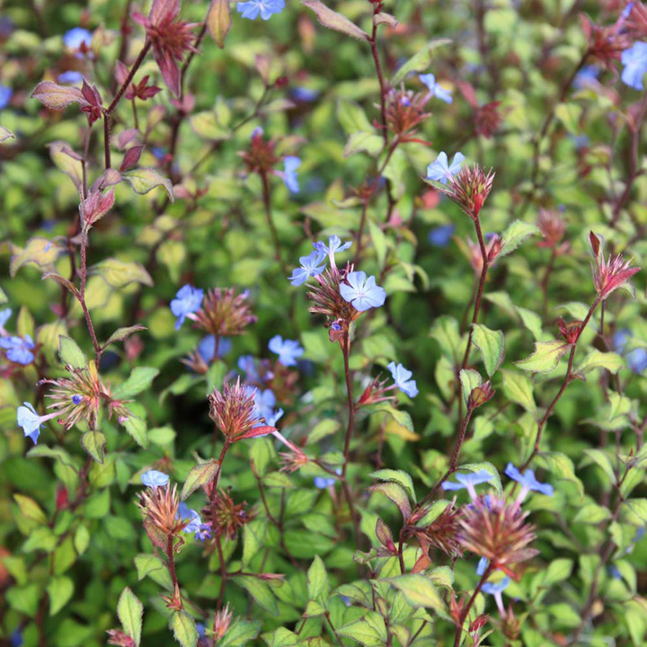 Ceratostigma willmottianum Plant