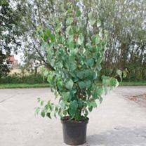 Cercidiphyllum japnicum Plant