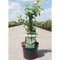 Chaenomeles speciosa Plant - Yukigoten