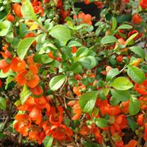 Chaenomeles superba Plant - Clementine