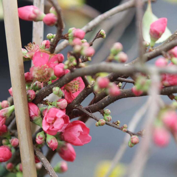 Chaenomeles superba Plant - Pink Lady