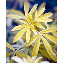 Choisya Plant - Goldfingers