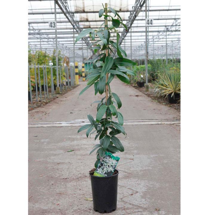 Clematis armandii Plant - Snowdrift