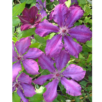 Clematis 'Honora has a large rich purple, 6-petalled, star-shaped flower with a pinky-red stripe along the centre of each petal. Blooms in mid summer
