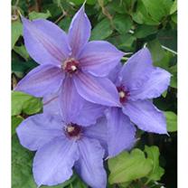 Clematis Plant - Hybrida Sieboldii