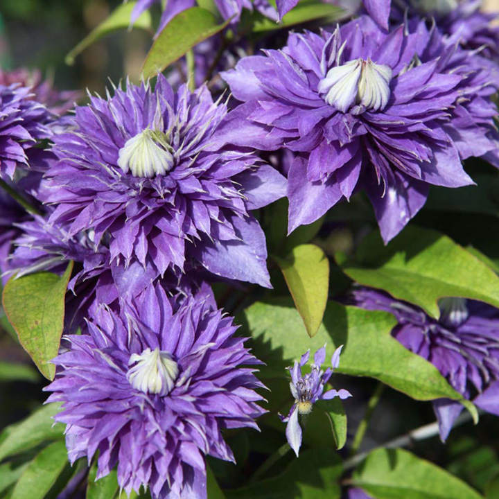 clematis plant multi blue view all trees and shrubs trees shrubs hedging gardening. Black Bedroom Furniture Sets. Home Design Ideas