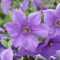 Clematis 'Semu', this vigorous Estonian cultivar with fair blue-violet flowers that is extremely hardy, resilient and exceptionally free-flowering. It