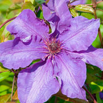 Clematis 'The President is an early large-flowered clematis with a long flowering period, producing impressive purple-blue flowers from late spring to