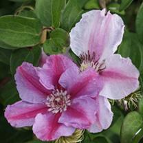 Clematis Plant - Tudor