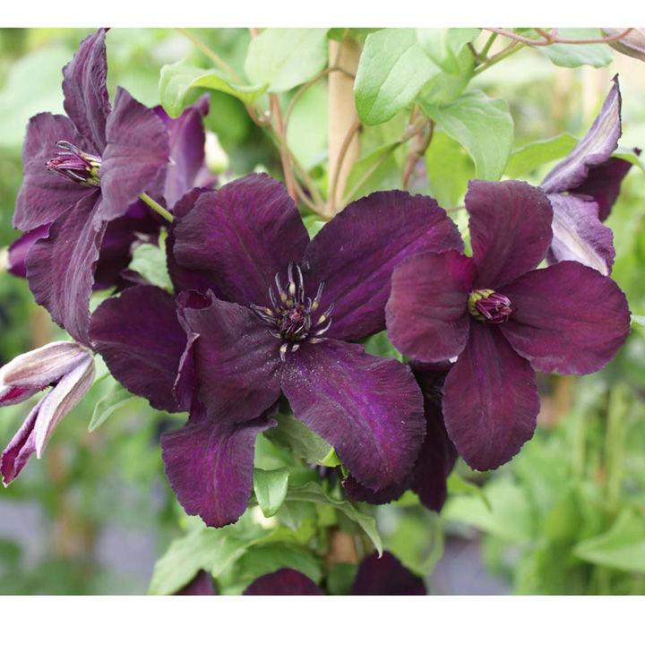 Clematis viticella Plant - Dark Eyes