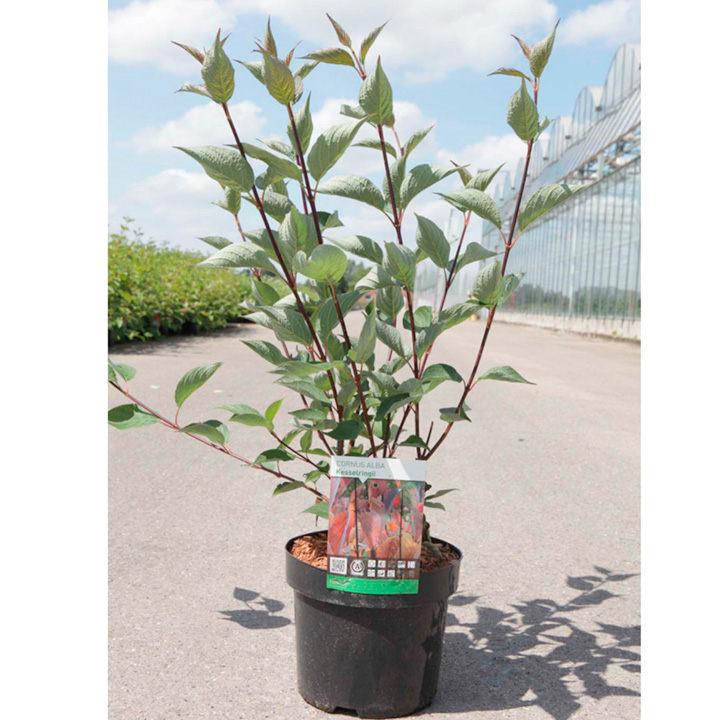 Cornus alba Plant - Kesselringii