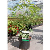 Cornus controversa Plant