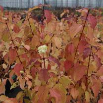 Cornus sanguinea Plant - Winter Beauty