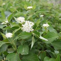 Cornus sericea Plant - Budds Yellow