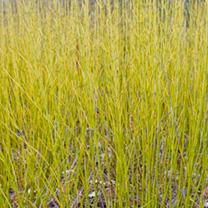 Cornus sericea Plant - Flaviramea