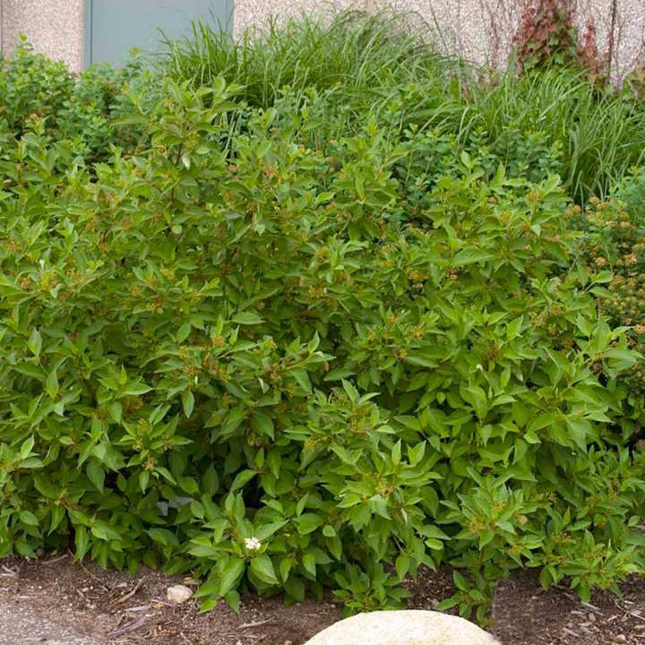 Cornus sericea Plant - Firedance First Edition