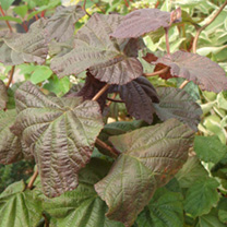 Corylus avellana Plant - Red Majestic®