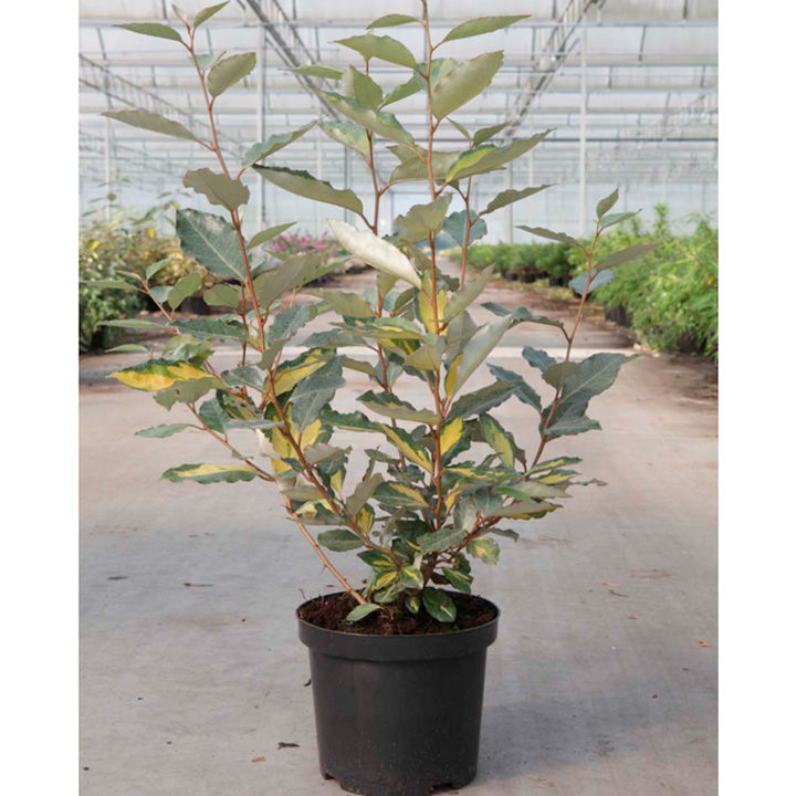 Elaeagnus ebbingei Plant - Eleador