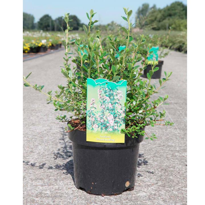 Escallonia Plant - Donard Seedling