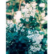 Escallonia Plant - Iveyi