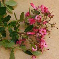 Escallonia rubra Plant - Macrantha