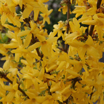 Forsythia intermedia Plant - Week-End