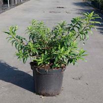 Forsythia Maree D Plant - Maree Dor
