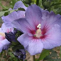 Hibiscus syriacus Plant - Azurri Belli Colori
