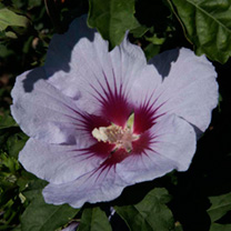 Hibiscus syriacus Plant - Cielo Belli Colori