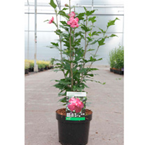 Hibiscus syriacus Plant - Freedom