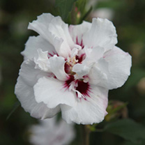 Hibiscus syr. Plant - Lady Stanley
