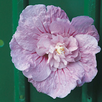 Hibiscus syriacus Plant - Lavender Chiffon Noble