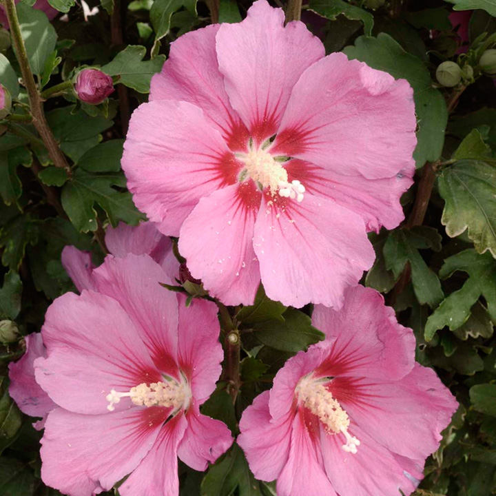 Hibiscus syr. Plant - Pink Giant