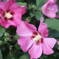 Hibiscus syriacus Plant - Woodbridge
