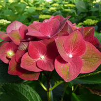 Hydrangea macrophylla 'AB Green Shadow', the dense, smaller, more compact form of this shrub makes it ideal for borders and containers and it has a wo
