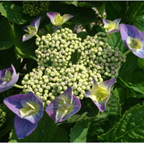 Hydrangea macrophylla 'Blaumeise (sometimes called 'Teller Blue') is considered by many to be one of the best blue hydrangeas, producing profuse large