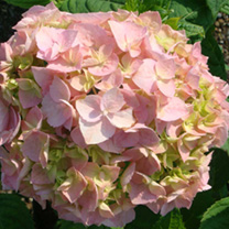 Hydrangea macrophylla 'Bouquet Rose is an ideal addition to your garden if you need colour and interest added to your garden for the late summer. Need