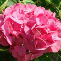 Hydrangea macrophylla King George V also knows as Hydrangea macrophylla King George V is a fast-growing deciduous shrub with dark-green foliage. Its f