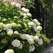 Hydrangea macrophylla 'Soeur Thrse', this small, upright, deciduous, easy to grow and keep shrub has been named after Soeur Thrse known as The Little