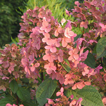 Hydrangea paniculata Plant - Early Sensation®