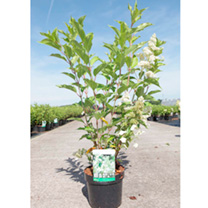 Hydrangea paniculata 'Kyushu is a large deciduous shrub with dark green toothed foliage and large loose flowerheads with a few large sterile florets a