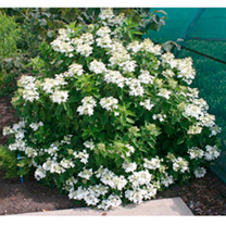 Hydrangea Paniculata Plant - Magical Starlight