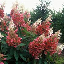 Hydrangea paniuclata Plant - Pinky Winky Noble