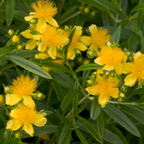 Hypericum kalm. Plant - Sunny Boulevard