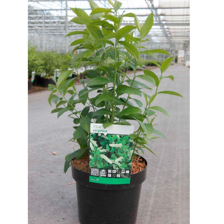 Itea virginica Plant