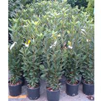 Laurus nobilis Plant