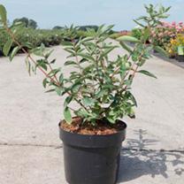 Lonicera kamtschatica Plant - Balalaika®