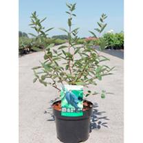 Lonicera kamtschatica Plant - Eisbär®