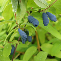 Lonicera kamtschatica Plant - Kalinka®