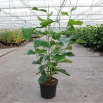 Magnolia liliiflora Plant - Nigra